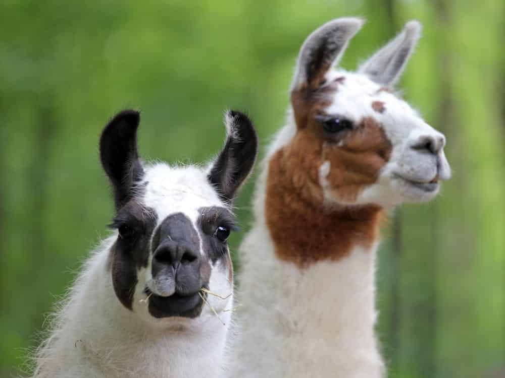 Two llamas, one in focus, green background