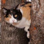 Calico cat peeking through two tree trunks