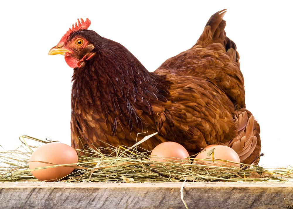 Hen in hay with eggs on white background