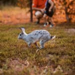 Rabbit jumping in grass, two people in background