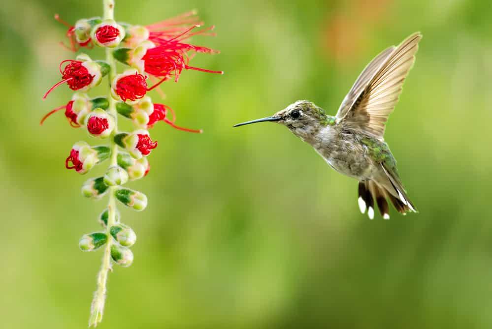 Hummingbird flying to flower, green background